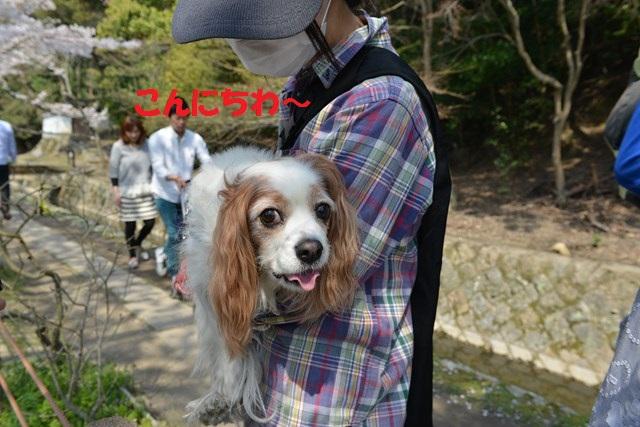 s-2014,04,08 チョコ・洋ちゃんと行く哲学の道 034
