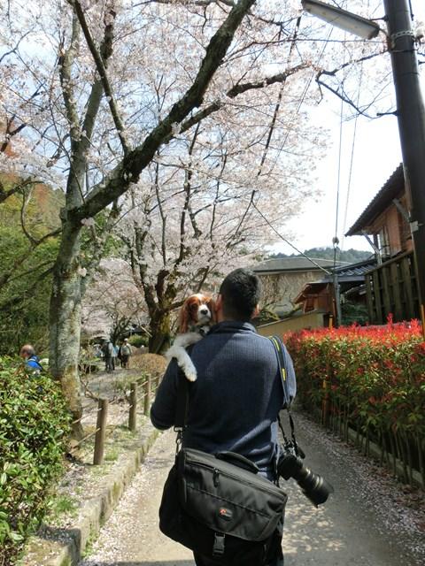 s-2014,04,08 チョコ・洋ちゃんと行く哲学の道 026