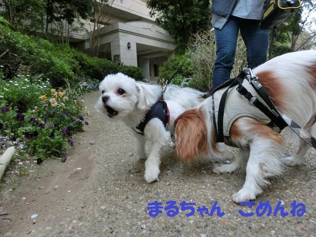 s-2014,04,14 まるちゃん散歩 016