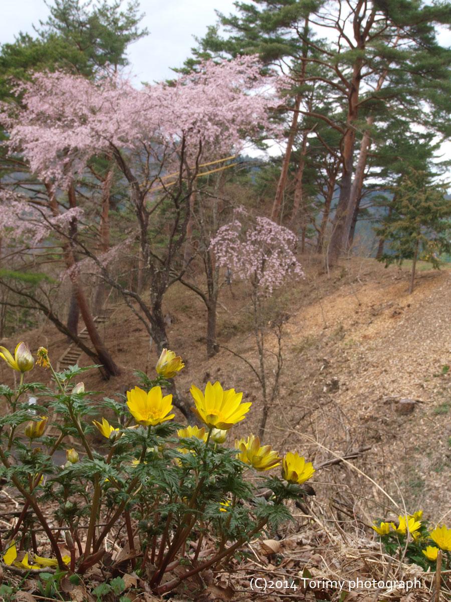 桜とフクジュソウ
