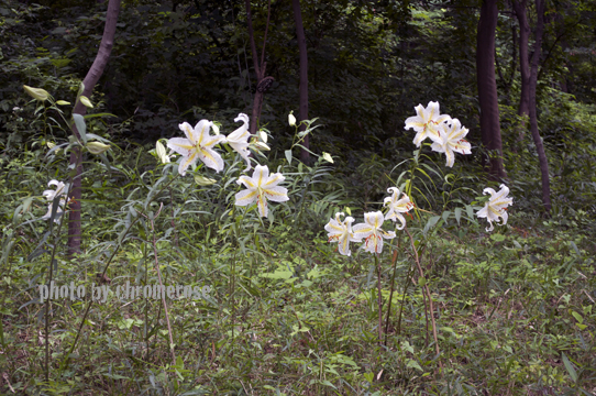 lily2014_01