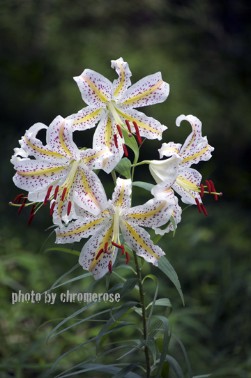 lily2014_03