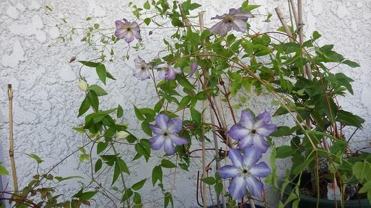べノサ2番花