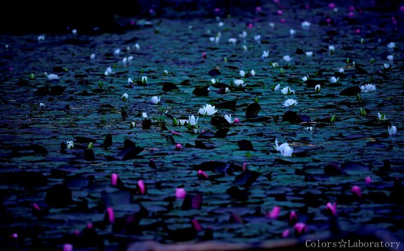 木崎湖 睡蓮 8