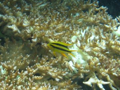 タオ島 ファンダイビング 幼魚