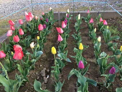 さいた~♪さいた~♪チューリップの花が~♪