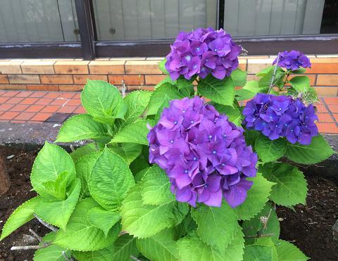 紫あじさい