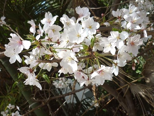四条畷の桜