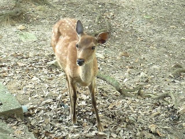 奈良公園の仔鹿