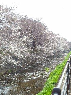 行きの桜たち アカシックレコードリーダーさゆり撮影