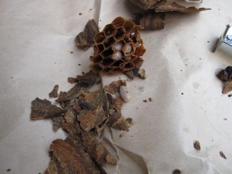 ハチの巣退治9