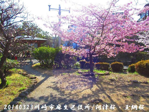 0323sakura03.jpg