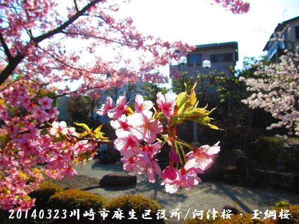 0323sakura05.jpg