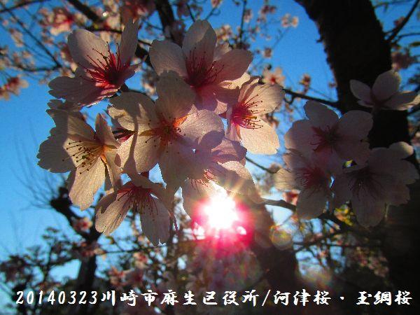 0323sakura06.jpg