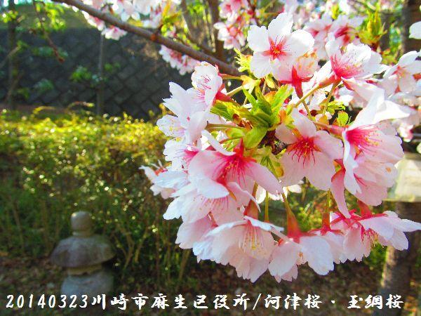 0323sakura07.jpg