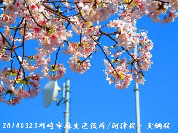 0323sakura08.jpg