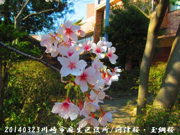 0323sakura09.jpg