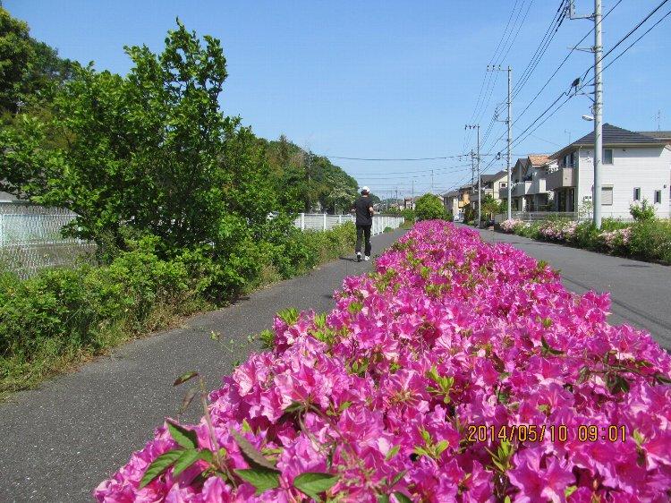 0510tsutsuji01.jpg