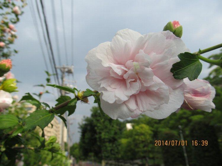 20140701hana26.jpg