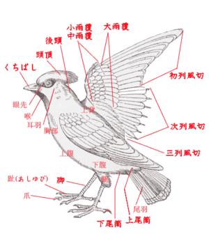 鳥の羽の構造