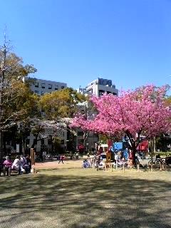 横浜公園さくら