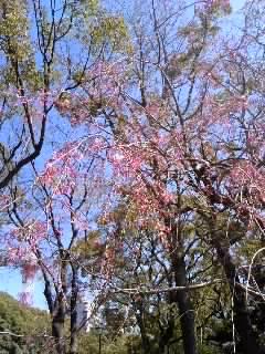 横浜公園しだれ桜