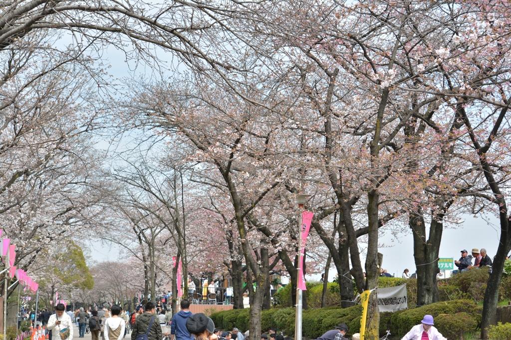 隅田川桜03