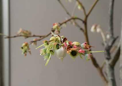 花なしブルーベリー