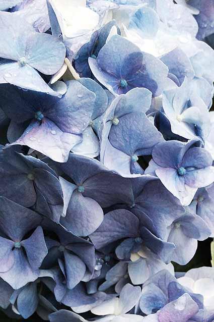 紫陽花はな