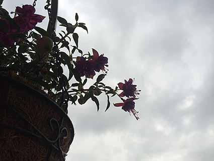 曇り空とフクシア