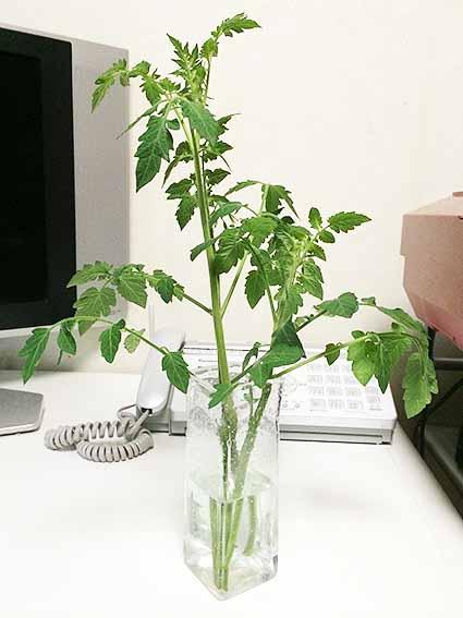 ミニトマト花瓶
