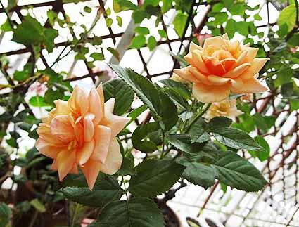 ピーチの薔薇