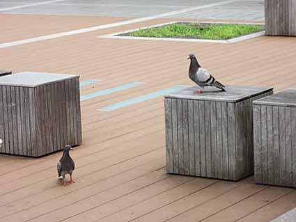 不安そうな鳩