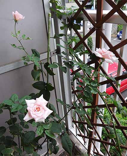 ピンクの薔薇3つ