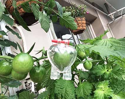 ミニトマト成形