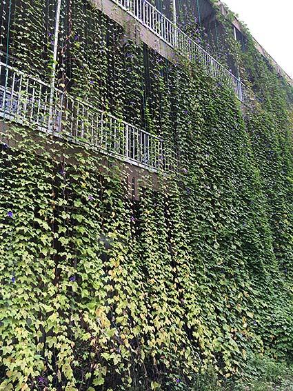 小学校のグリーンカーテン