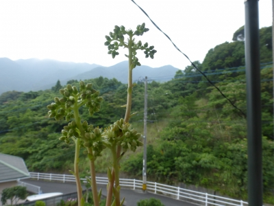 カメレオン花2 弁慶草科 セダム属 2014 7.5