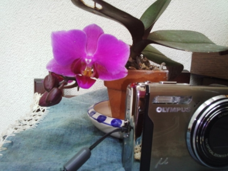ミニの胡蝶蘭。初花