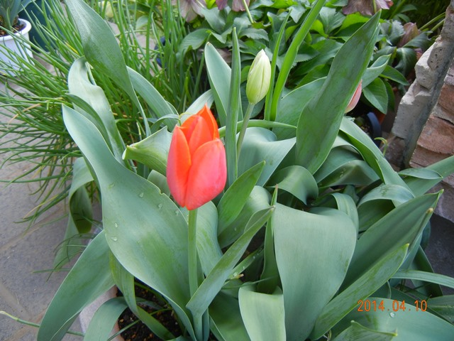 tulip140410.jpg
