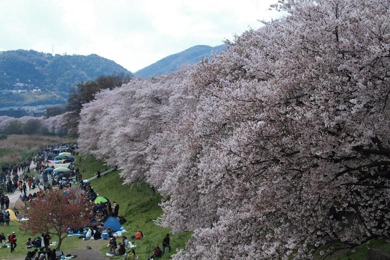 背割桜、1