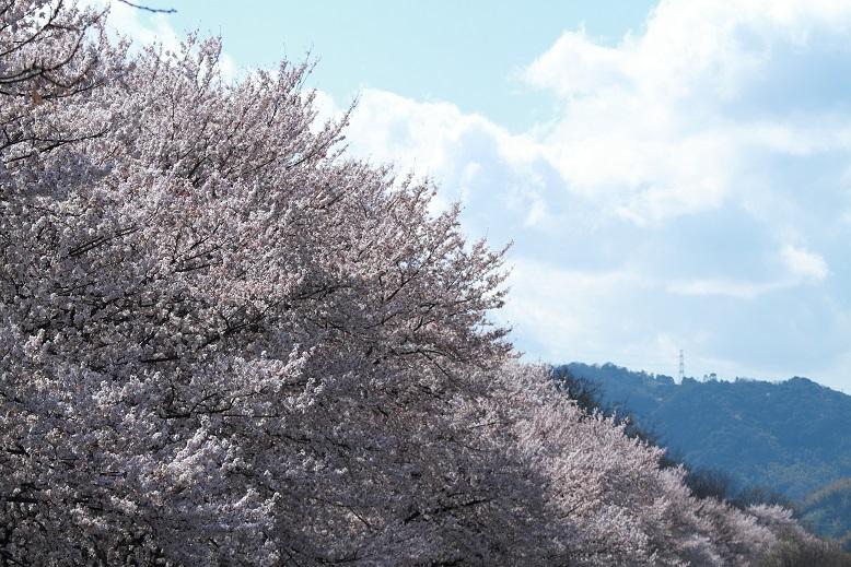 背割桜、2