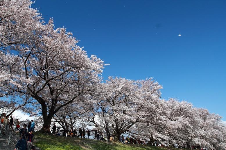 背割桜、5