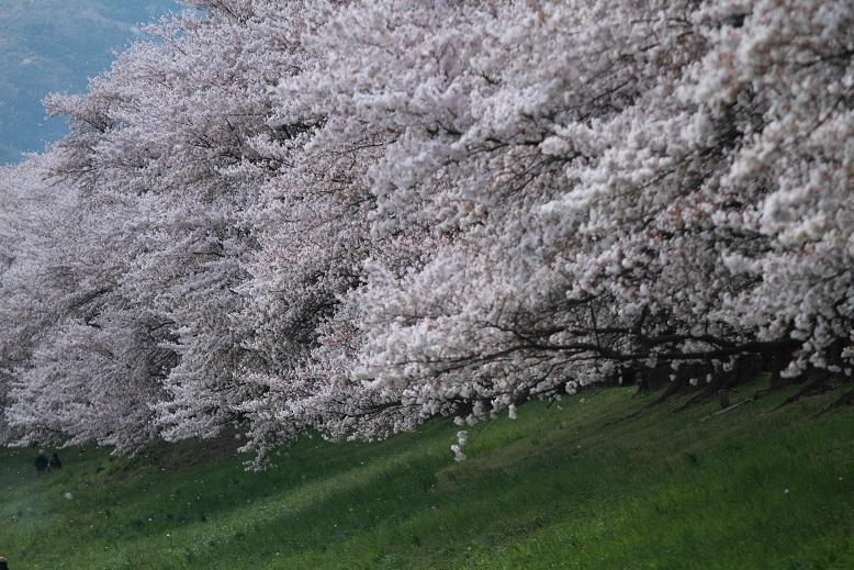 背割桜、6