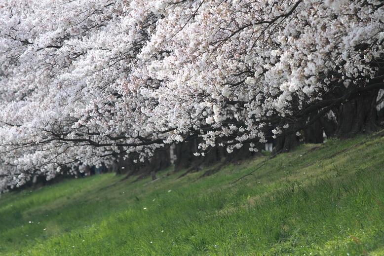 背割桜、7