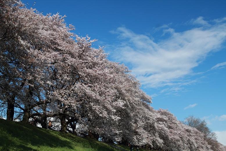 背割桜、8