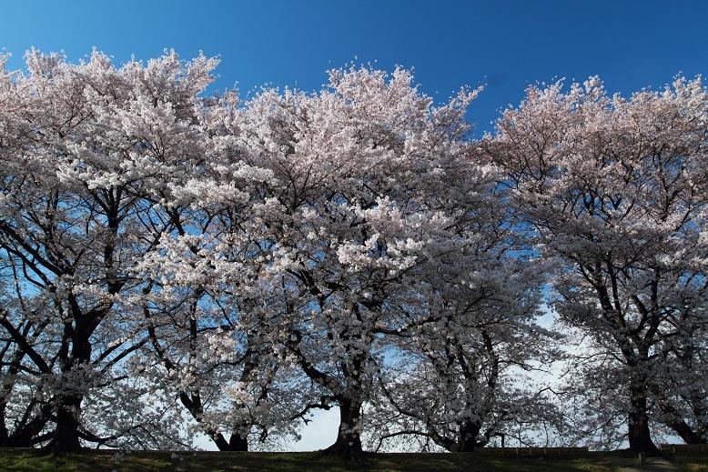 背割桜、9