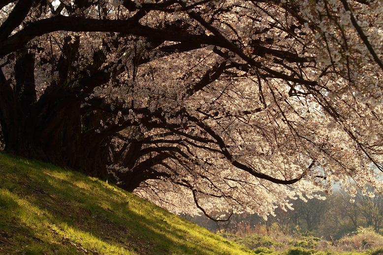背割桜、11