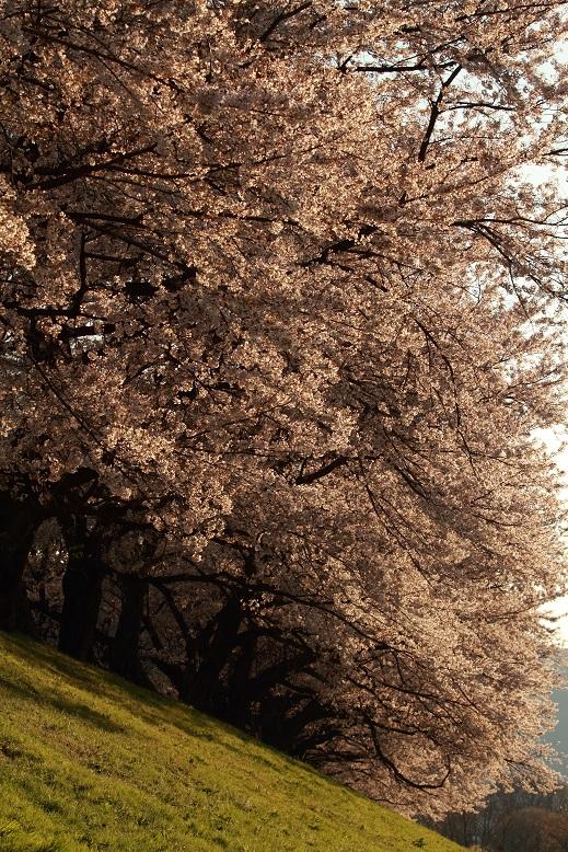 背割桜、12