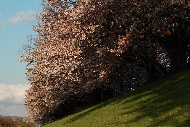 背割桜、13