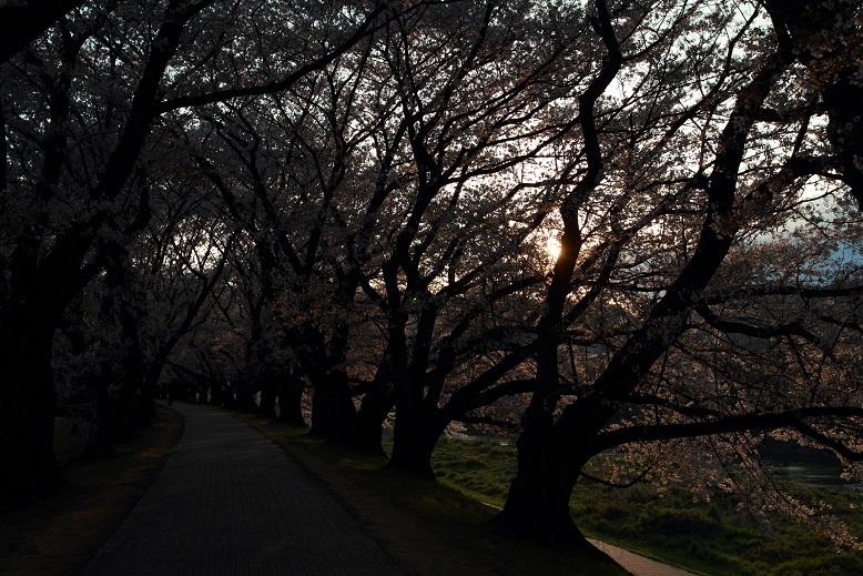 背割桜、15